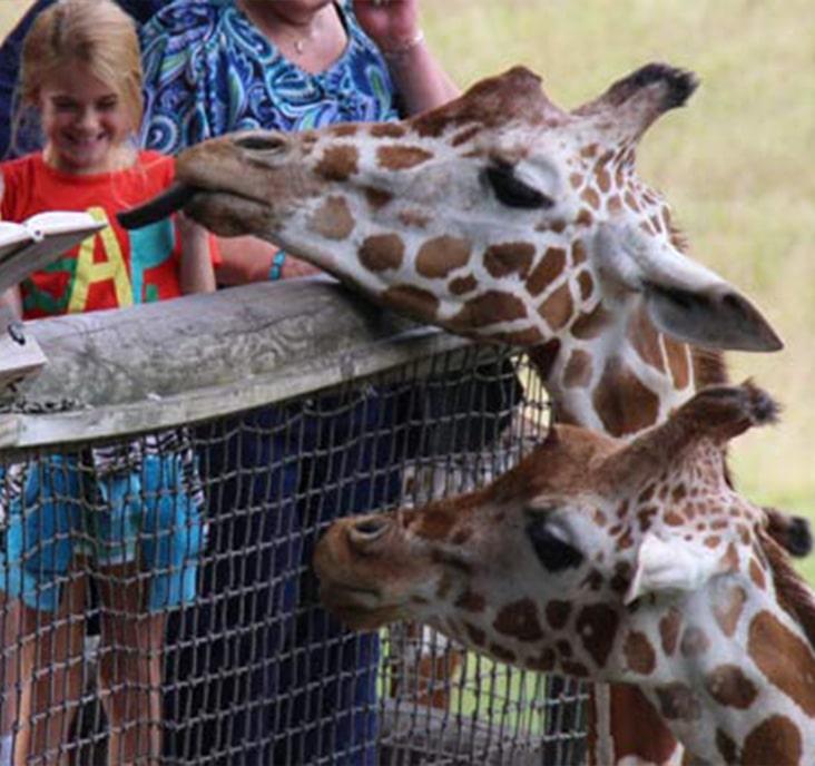 children feed giraffes at binder park zoo